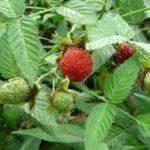 バライチゴ 赤い実がなるトゲのある草の正体 実は食べられる?